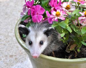 possum-in-flower-pot