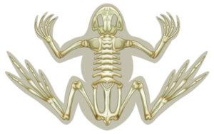 frog-skeleton_117304999_600px