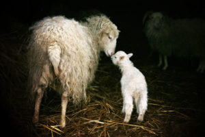 mother-sheep-and-lamb_132096929_600px